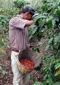 coffee-harvesting-cherries-coffeeresearchorg